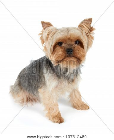 One Yorkshire Terrier with haircut looking at camera