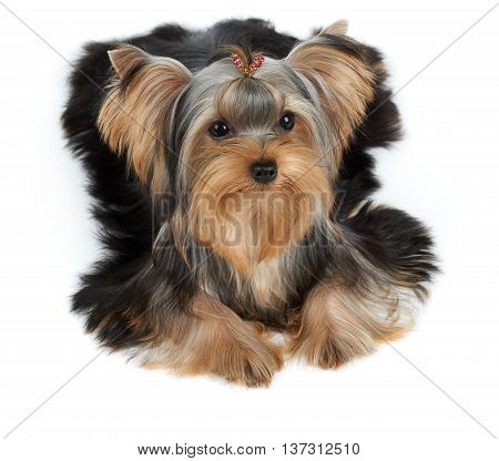 One Yorkshire Terrier with hairpin isolated on white
