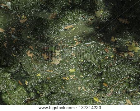 A slime filled water surface of a pond.