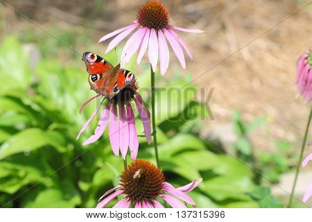 Mahaon Butterfly Sitting In The Middle Of Three Pink Flowers Of Echinacea