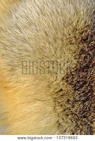 Fox fur texture close up as background