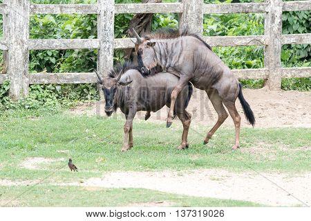 Wildebeest In The Park