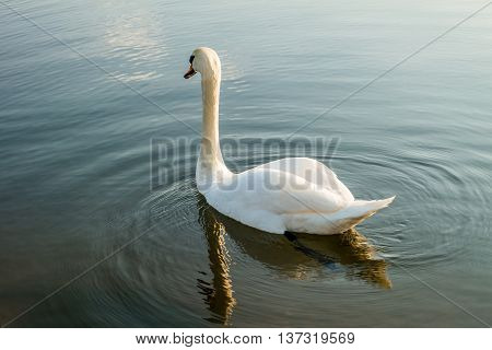 White swan on a lake. White swan in the water.