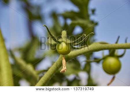 tomato fruit with dry blossom on green stem close up