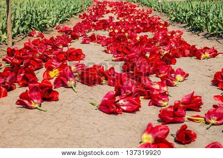 Path with red tulips buds. Tulip red buds on soil after harvest.
