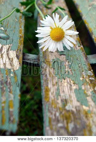 Detail of white daisy on a background of old wooden park bench garden