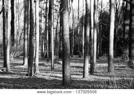 Vertical wild forest tree trunks bokeh background