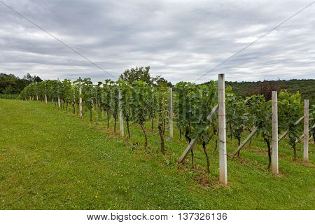 Vineyard under the stormy sky