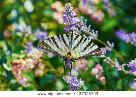 Swallowtail Butterfly (Papilio Machaon) on the Lavender Flower
