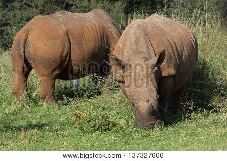 Two Rhinos Grazing In Green Grassland In Reserve
