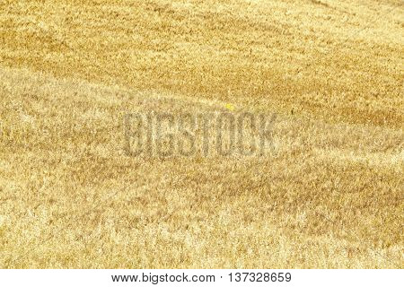 Yellow dry meadow in Sicilian countryside. It may be used as a background.