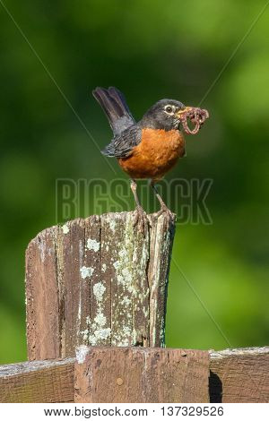 An American Robin getting ready to feed the chicks. Taken in Kentucky.