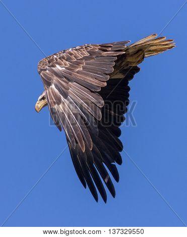 A Bald Eagle in flight. Taken in Kentucky.