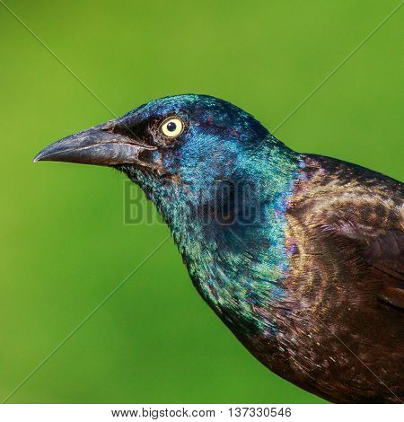 A portrait of a Common Grackle. Taken in Kentucky.