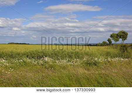 Ripening Canola Field With Wildflowers