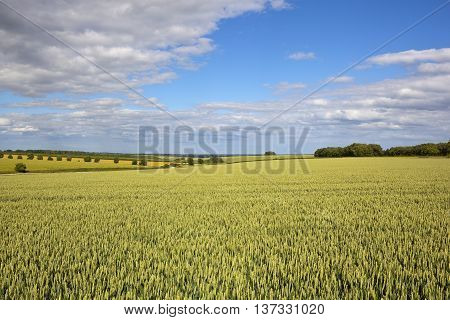 Yorkshire Wolds Wheat Crop