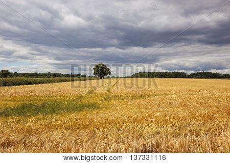 Yorkshire Barley Field In Summer