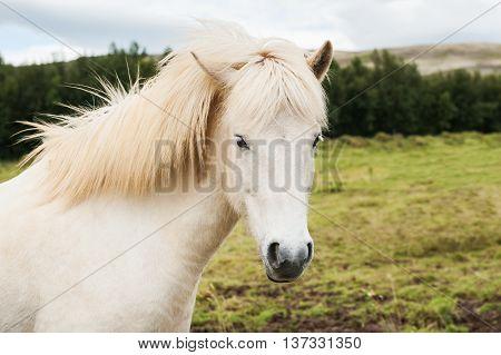 Beautiful white icelandic horse in nature background. South Iceland.