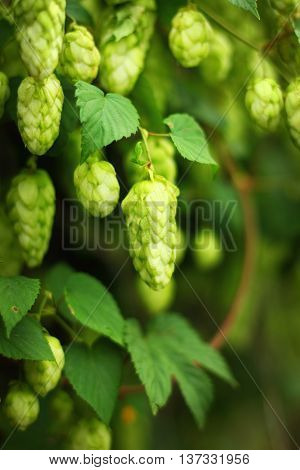 green ripe hop branches, close up view
