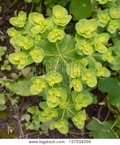 Euphorbia helioscopia - a spurge plant also known as Sun Spurge Umbrella Milkweed Wart Spurge and Madwoman's milk - grows as an annual weed in a flower bed