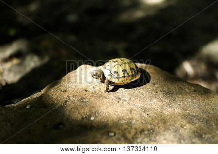Hermann's tortoise baby on sunny stone Europe