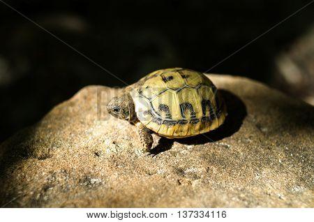 Hermann's tortoise baby on sunny stone Europe