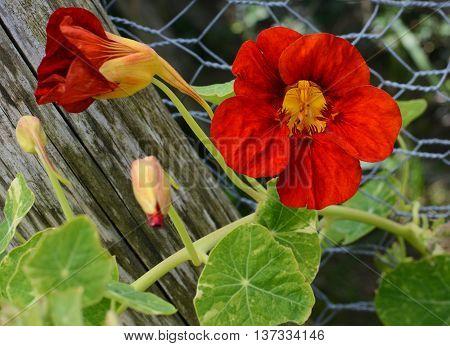Deep Red Nasturtium Flower Growing Against Green Leaves