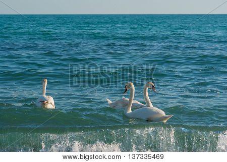 Rare event - three white swan swim in Black Sea in Crimea