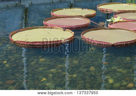 Giant lily pads floating on the pond