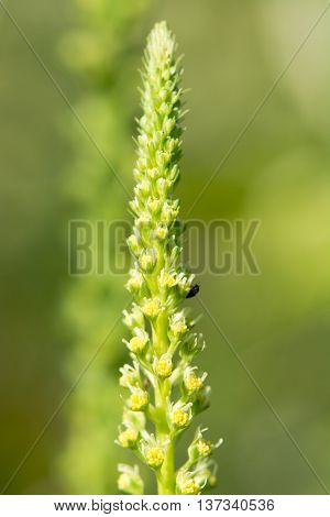Weld (Reseda luteola) flower spike. Detail of inflorescence of plant in family Resedaceae with beetle pollinating