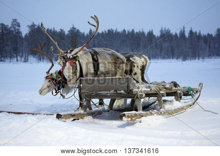 Sami reindeer sled on a snow-covered field