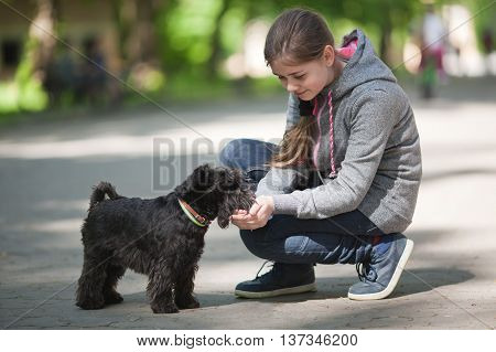Dog (Miniature schnauzer) drinks water from hands