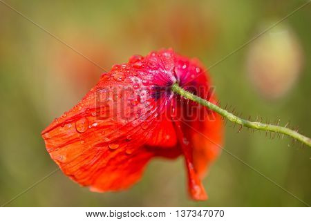 beautiful poppy with water tropics , background