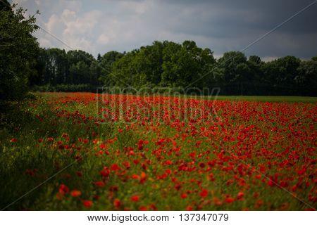 Poppies on field , gloomy sky