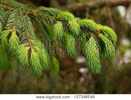 Fresh needles on conifer (Picea orientalis) branch at spring over forest background