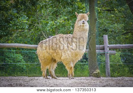 A young white shag alpaca in the either zoo.