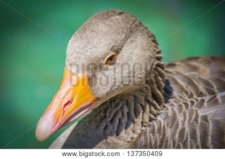 A beautiful greylag goose bask in the sun.