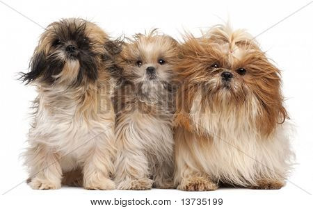 Three Shih-tzus with windblown hair in front of white background