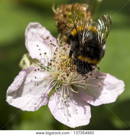 Bumble Bee busy on a Blackberry Flower