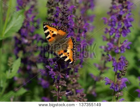 European Small Tortoiseshell butterfly (Aglais urticae) on a flower