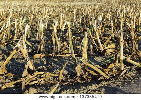 agricultural field where crops harvested mature corn yellowing