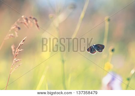 blue butterfly fluttering on a flower summer meadow spread its wings