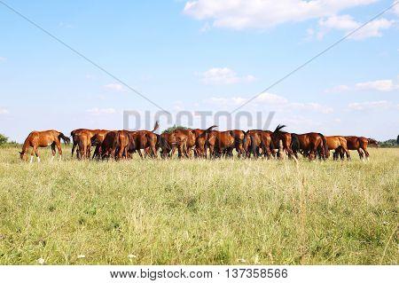Herd Of Gidran Horses Eating Fresh Green Grass On Hungarian Meadow Aka Puszta