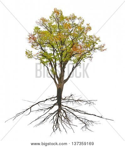 large fall tree with root isolated on white background