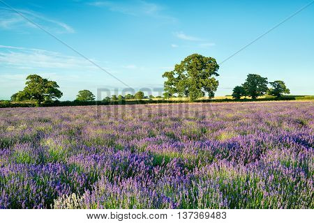 Lavender field in the English countryside in Somerset
