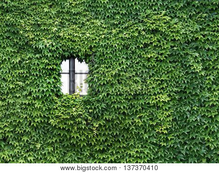 house is overgrown with ivy