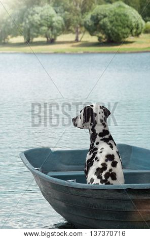 Dalmatian dog sailing on a boat on the river