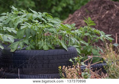 Potato plant growing in a tire. Mulch is visible in background