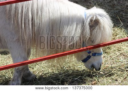 Small white pony behind rail fence eating
