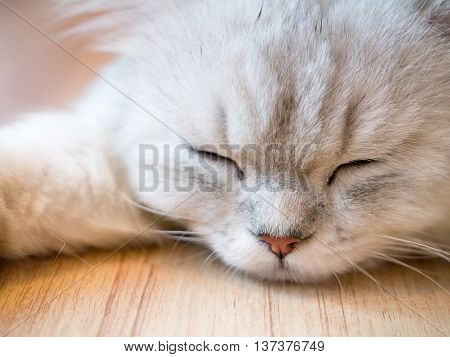 Fluffy Sleeping Cat
